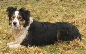 Flexigraze sheepdog Jess