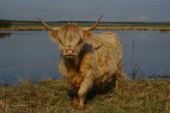 Highland Cow on Druridge Bay