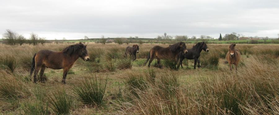 Exmoor Ponies on Prestwick Carr