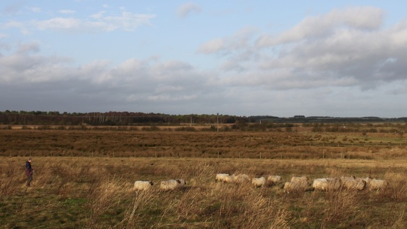 Moving sheep on Prestwick Carr