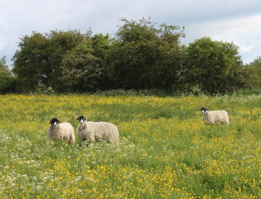 Sheep in the buttercups