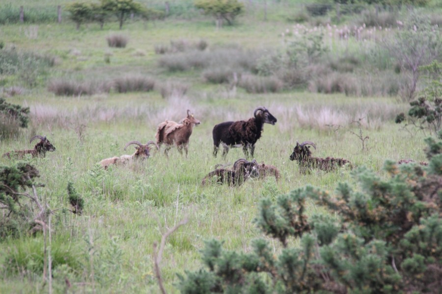 Soay sheep at Linton Lane nature reserve.
