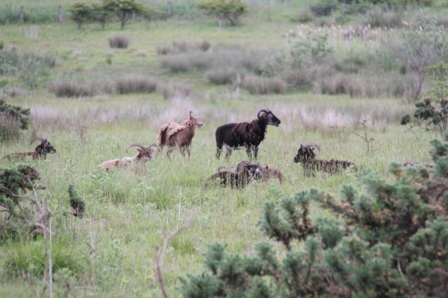 Soay sheep at Linton Lane nature reserve.