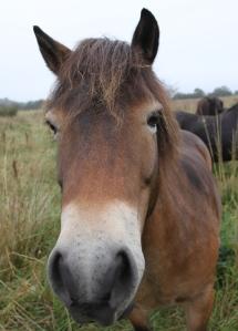 Exmoor Pony being nosey