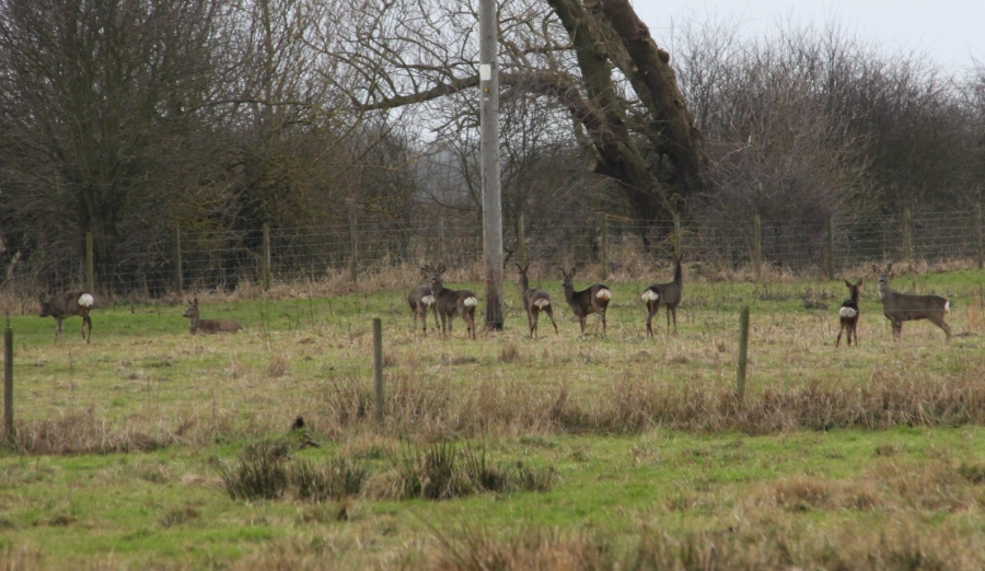 Roe deer (c) Duncan Hutt