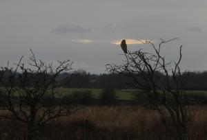 Short-eared owl (c) Duncan Hutt