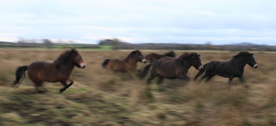 Racing Exmoor ponies (c) Duncan Hutt