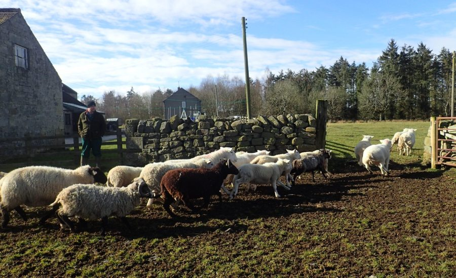 Gathering sheep ready for the training