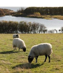 Swaledale sheep at hauxley