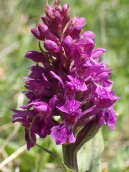 N marsh orchid